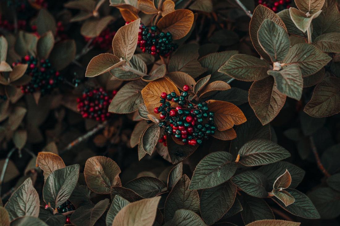Pianta Ornamentale Con Bacche Rosse le piante da bacca - centro fiori padova